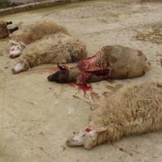 Pecore sbranate da lupi (repertorio)