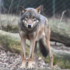 lupo European_grey_wolf_in_Prague_zoo